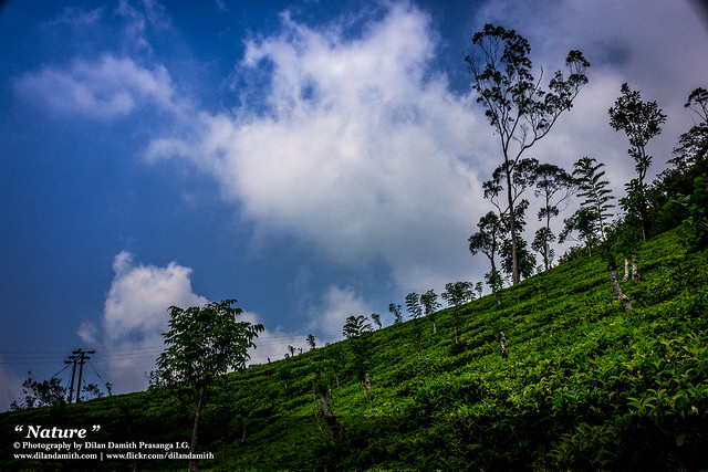 Dilan Damith Prasanga's - Tea Field - u0dadu0dda u0dc0u0d9cu0dcfu0dc0