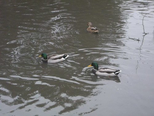 Canada Geese in High Park, Toronto (3)