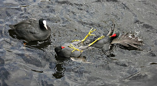 coot wwt moorhens martinmere