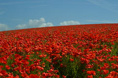 LOTS of Poppies!