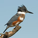 Female Belted Kingfisher (Megaceryle alcyon) by Don Delaney