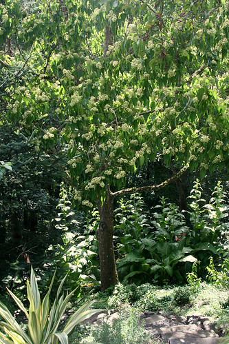 9_fragrant_tree
