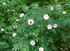 garden roses(0.0), peony(0.0), annual plant(1.0), flower(1.0), pinkladies(1.0), plant(1.0), rosa rubiginosa(1.0), wildflower(1.0), flora(1.0), rosa pimpinellifolia(1.0),