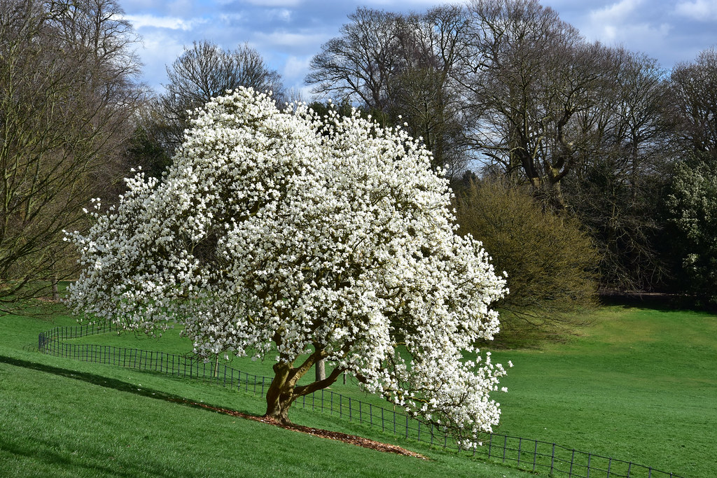 White Magnolia Tree Download Photo Tomatoto Search Engine For