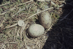 Greater Black-back eggs, Steepholm, 16th May 1965