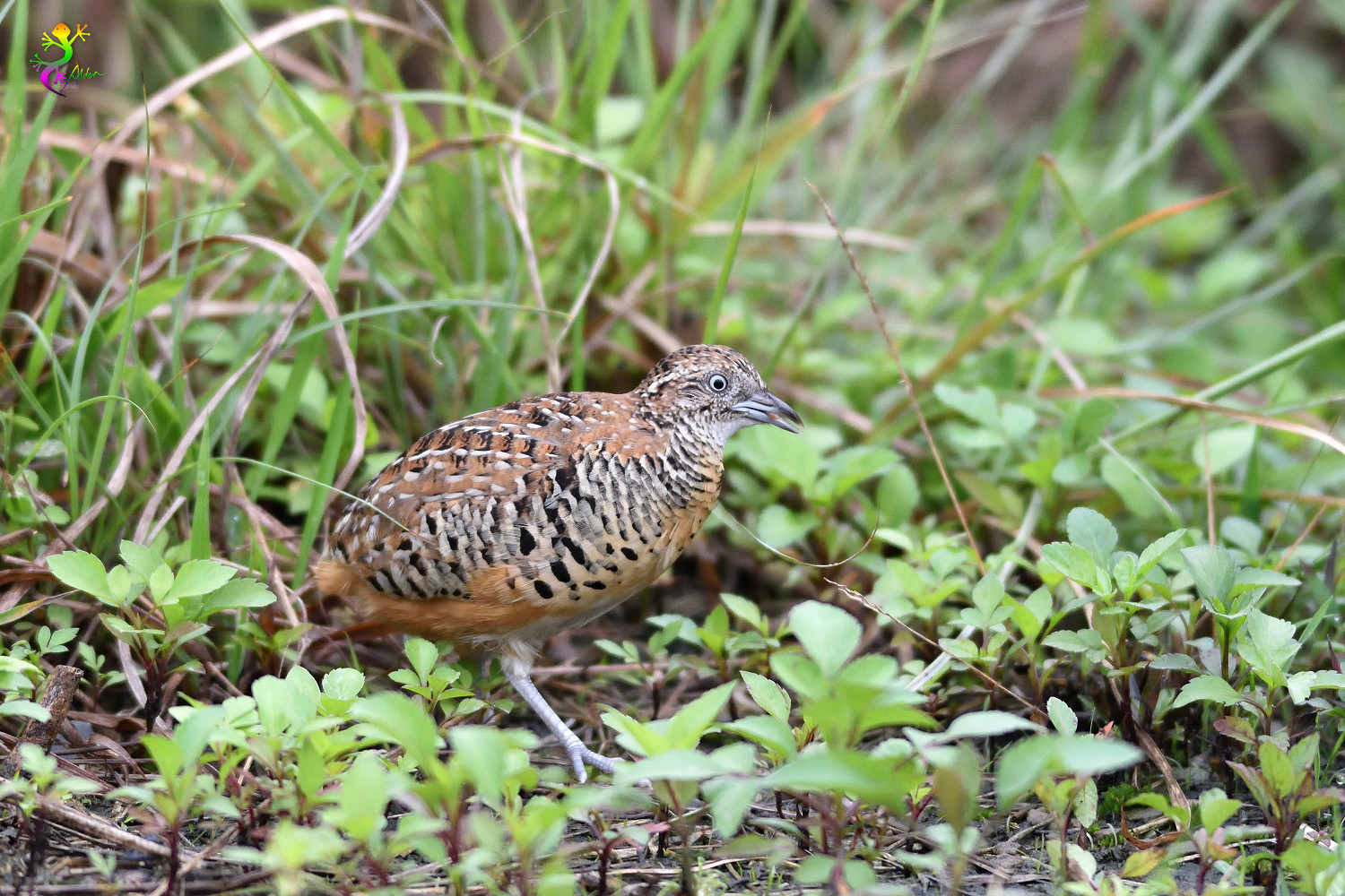 Barred_Buttonquail_9211