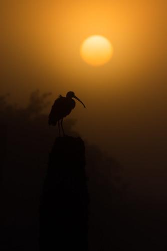 eudocimusalbus sunrisevierawetlands whiteibis