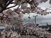 勝沼ぶどう郷の甚六桜