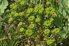 トウダイグサ/Euphorbia helioscopia