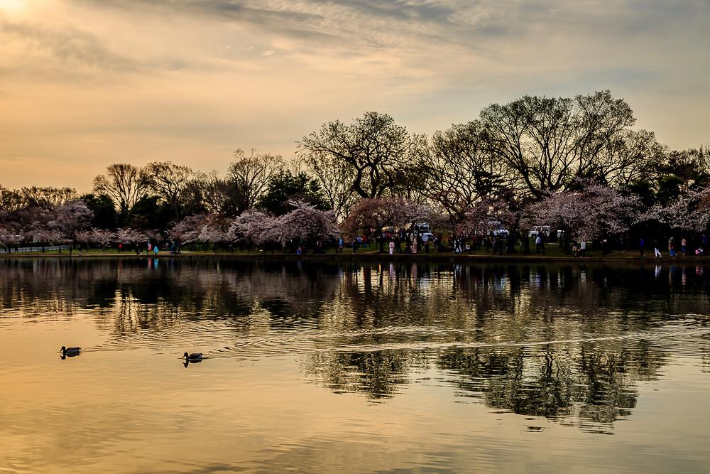 2017 华盛顿樱花-4