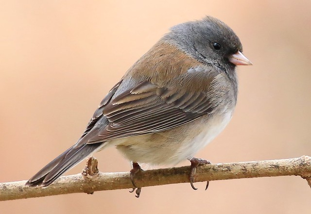 dark-eyed junco at Lake Meyer Park IA 854A4333