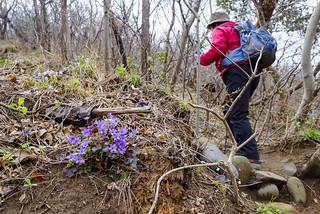 ユキワリソウ咲く斜面をゆっくり登ります