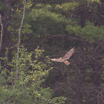 Late+afternoon+Red+Tail+Hawk