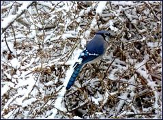 Bluejay, snowy bush