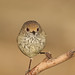 Small photo of Brown Thornbill (Acanthiza pusilla)