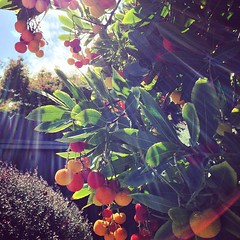 Fruit tree (lychee?) and sunbeams #siliconvalley #paloalto #sunshine