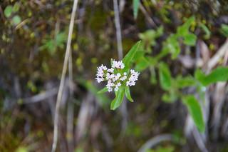 018 witte bloemen