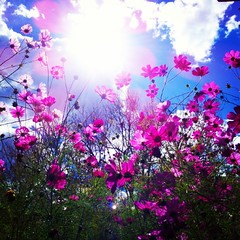 Gorgeous pink #cosmos #flowers #bluesky