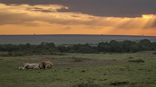 sunset lumix kenya wildlife lion panasonic wilderness kenia maasaimara