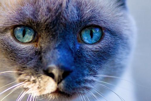 sunlight macro cat outdoors backyard colorado siamese bluepoint scotttucker lafayettecolorado ef20028l