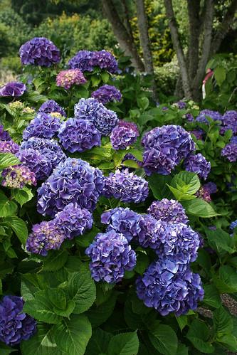 8_purple_hydrangea