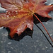 Wet Fallen Leaf iPhone 6 Wallpaper