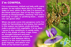 COWPEA – answer to CROP QUIZ No 7: World Food Da…