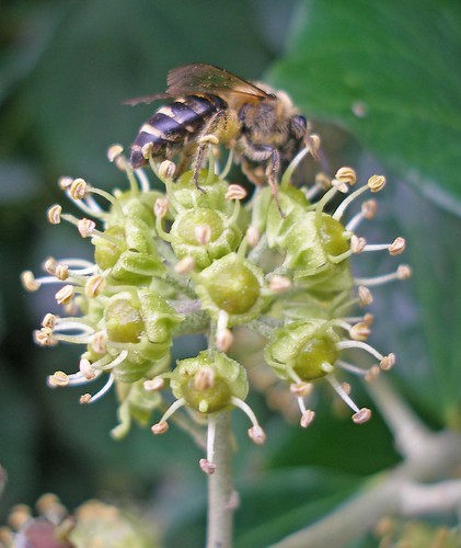 Ivy bee on ivy Salcombe 3