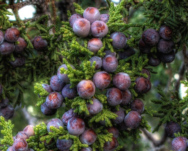 Juniper Berries Ripening