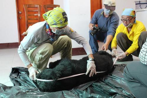 屏科大黑熊研究學者黃美秀為死亡黑熊量測體長。