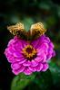 Butterfly Zinnia 2