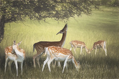 fallow deer herd and eating the tree