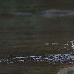 Dipper October 21, 2014 1259 ISO 800.jpg