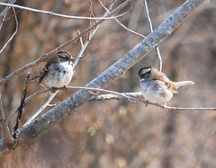 White Throated Sparrows (zonotrichia albicolus)