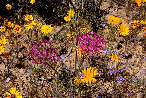 P. incrassatum в окружении синеньких цветочков (<i>Heliophila coronopifolia</i>) и оранжевых ромашек (род <i>Ursinia</i>)