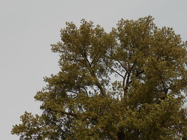 "Populus X canadensis ""Regenerata"" 24.10.2014 Helsinki Kaisaniemi"