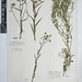Small photo of BM001161518 Achillea ptarmica L.