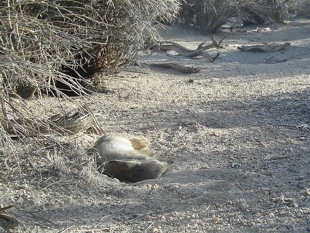 dust-bathing bunny