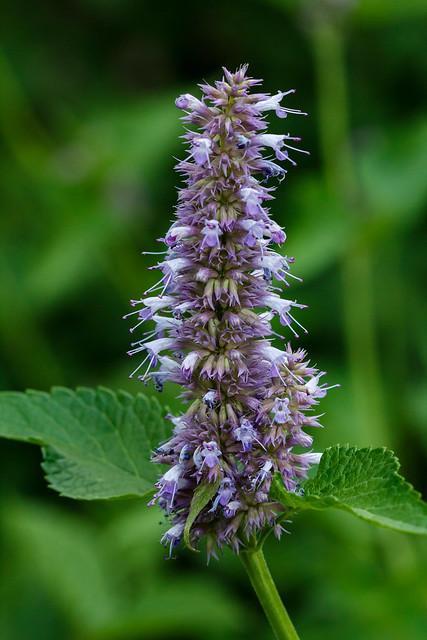Agastache scrophulariifolia purple giant hyssop for Agastache cuisine