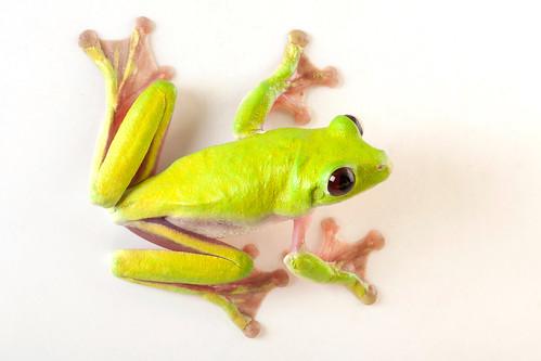 <i>Agalychnis spurrelli</i> Rana mono de Spurrell ♂