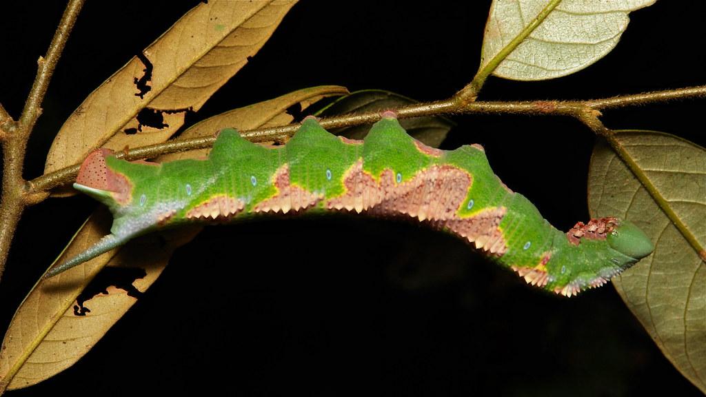 Hawk Moth Caterpillar (Ambulyx sp., Sphingidae)