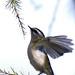 Common Firecrest (Regulus ignicapillus) Tüzesfejű királyka