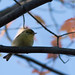 Pine Warbler, 1st-fall male by Christopher L Wood
