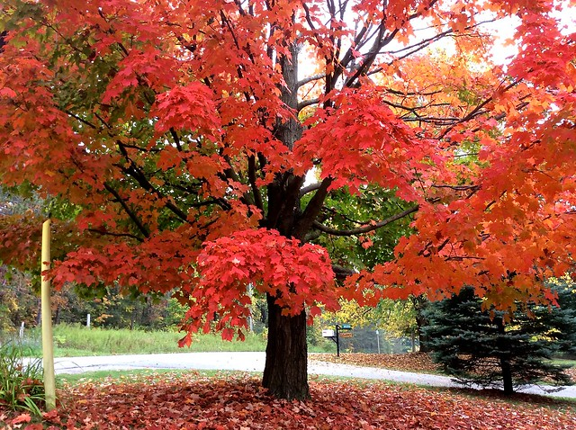 Autumn leaves, Toronto