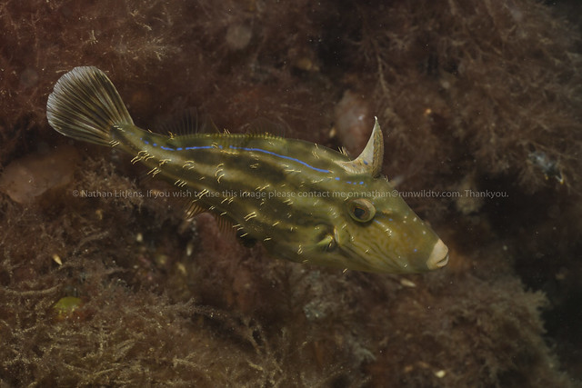 Sixspined leatherjacket (Meushenia freycineti)