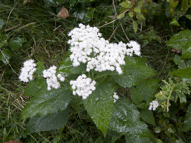 Unknown 2 white flower clusters