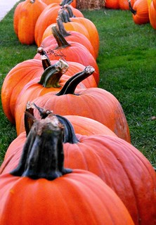B4474 Row of Pumpkins