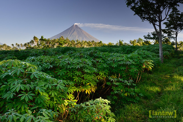 Mayon and Cassava plantation