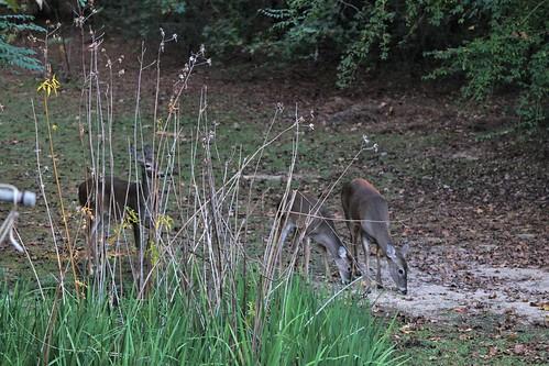 CrabAppleLane Wildlife - November 9, 2014