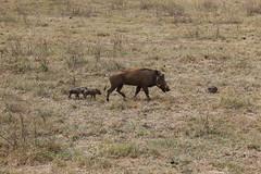 animal, prairie, steppe, mammal, herd, fauna, warthog, pasture, savanna, grassland, safari, wildlife,
